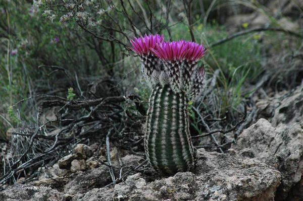 Photograph - Barrel Cactus by Karen Slagle
