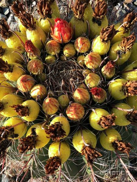 Photograph - Barrel Cactus Yellow Buds by Tatiana Travelways