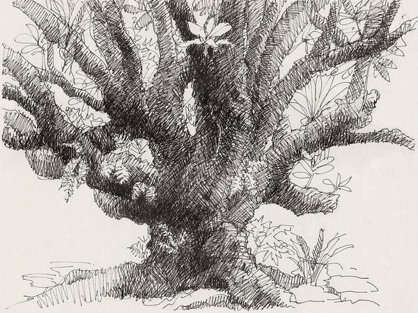 Drawing - Barringtonia Tree by Judith Kunzle