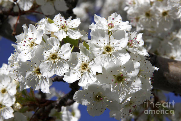 Photograph - Bradford Pear Blossoms by Richard Lynch