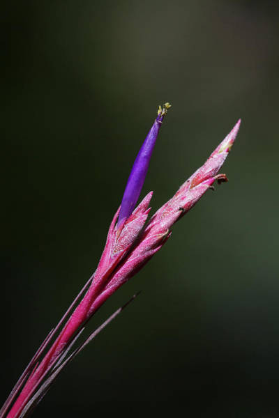 Photograph - Bartram's Airplant Flower by Paul Rebmann