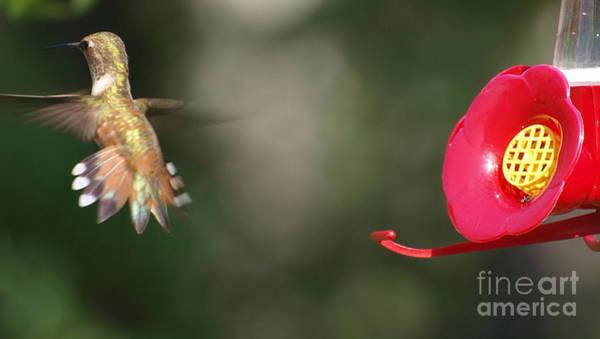 Photograph - Bashful Hummingbird by Vivian Martin