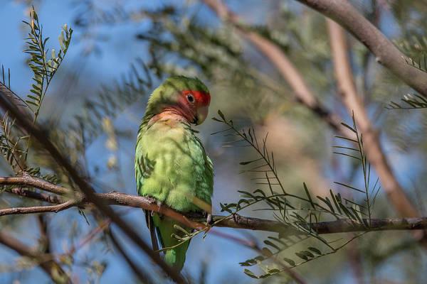Photograph - Bashful Lovebird by Teresa Wilson