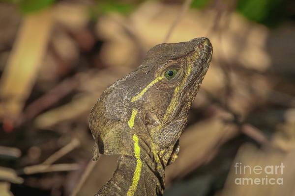 Photograph - Basilisk Lizard Portrait by Tom Claud
