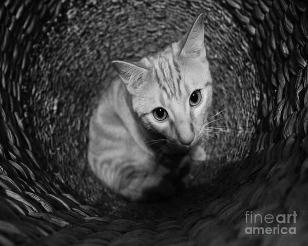 Photograph - Basket Kitten 1 by Patrick M Lynch