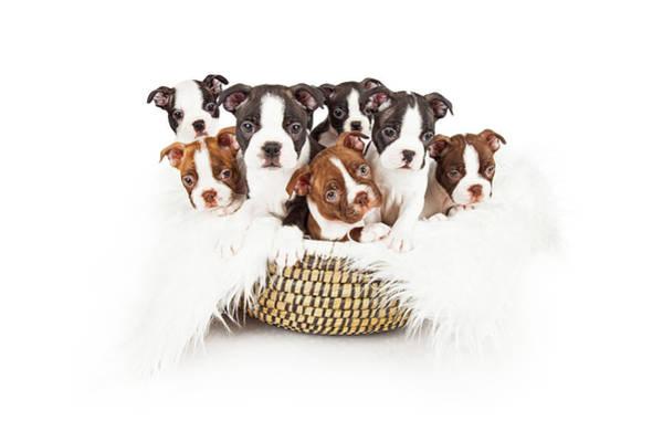 Puppies Photograph - Basket Of Boston Terrier Puppies by Susan Schmitz