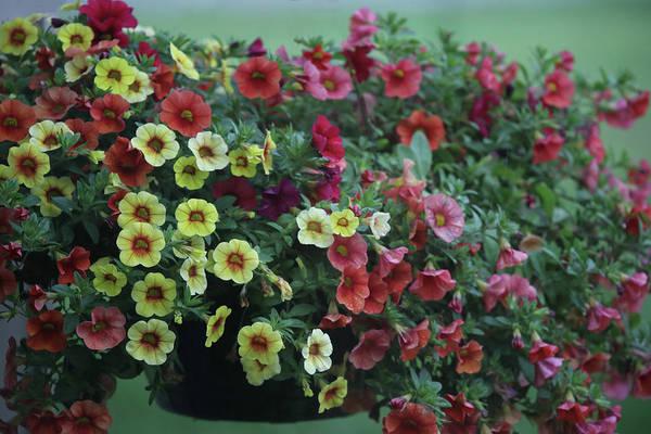 Photograph - Basket Of Hawaiian Hula Lilies by Ericamaxine Price