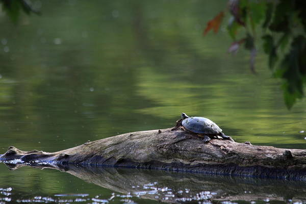 Painted Turtle Photograph - Basking Turtle by Lyle Hatch