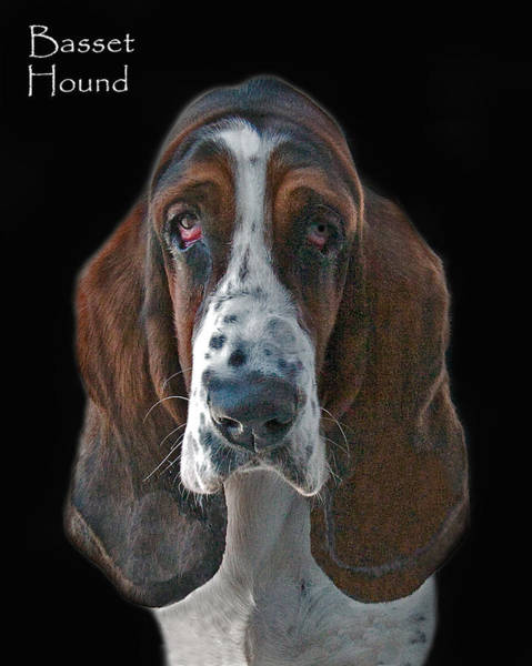 Photograph - Basset Hound by Larry Linton