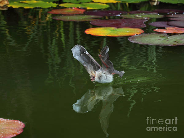 Photograph - Bat Drinking In Flight by Warren Photographic