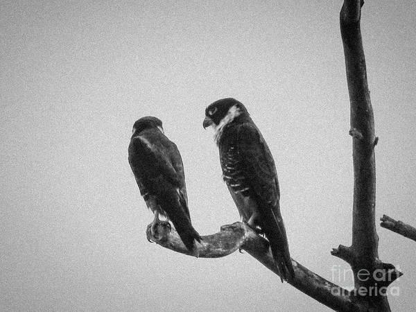 Bat Falcon In Black And White Art Print