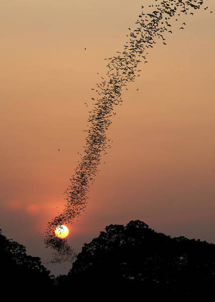 Wall Art - Photograph - Bat Swarm At Sunset by Jean De Spiegeleer