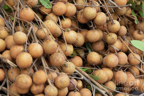 Quang Nam Province Photograph - Batch Of Longan Still On Branches For Sale by Lisa Top