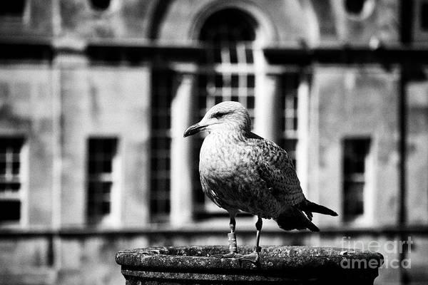 Wildbird Photograph - Bath Seagull With Ringed Foot With The Pulteney Bridge Behind Bath England Uk by Joe Fox