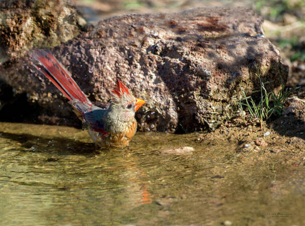 Photograph - Bathing Cardinal by Judi Dressler