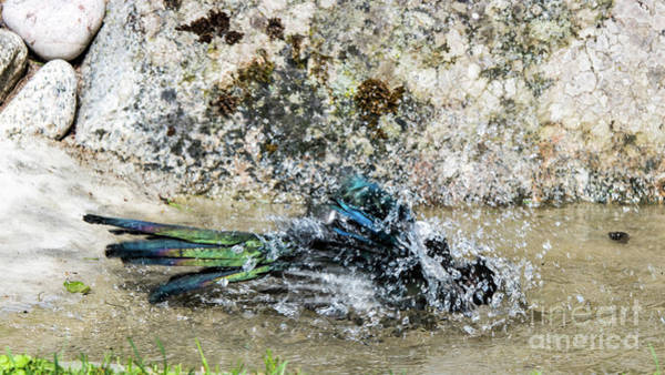 Photograph - Bathing Magpie by Torbjorn Swenelius
