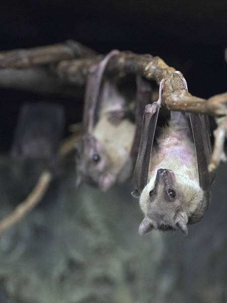 Photograph - Bats Hanging Out by Paul Ross