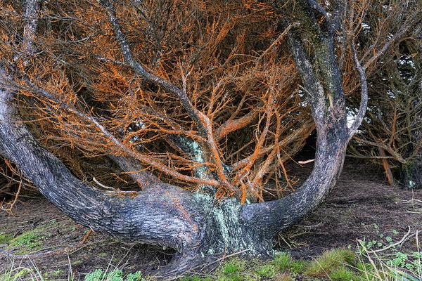 Monterey Cypress Photograph - Battered Cypress With Orange Alga by Kathleen Bishop
