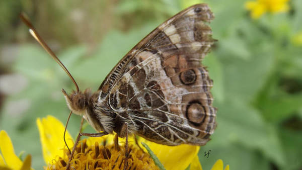 Photograph - Battered Tattered Butterfly by Shelli Fitzpatrick
