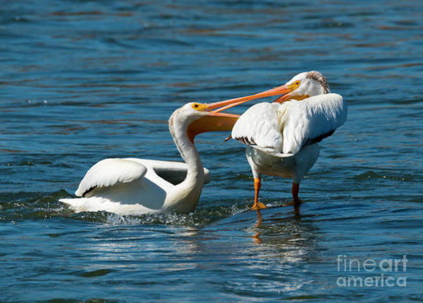 White Pelican Photograph - Battle Of The Beaks by Mike Dawson