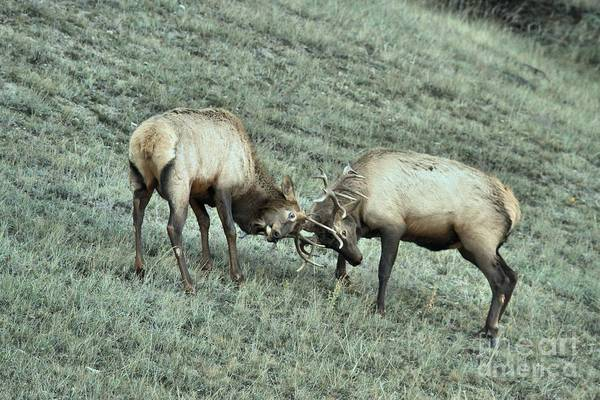 Photograph - Battling Elk by Adam Jewell