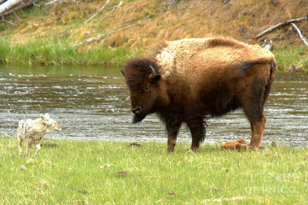 Photograph - Battling Mother Bison by Adam Jewell