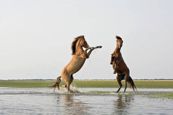 Photograph - Battling Mustangs by Bob Decker