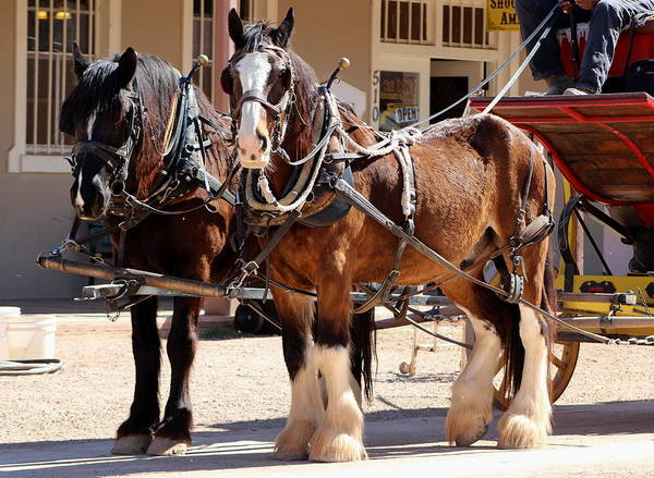 Photograph - Bay Colored Clydesdale Horses by Colleen Cornelius