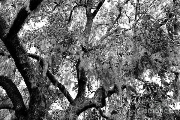 Photograph - Bay Street Spanish Moss In Savannah by John Rizzuto