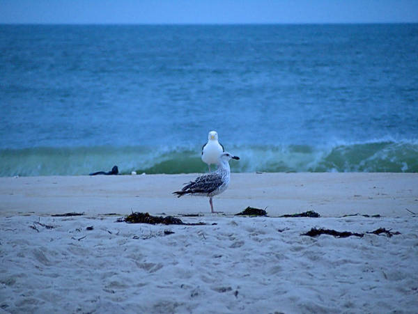 Photograph - Beach Birds by  Newwwman