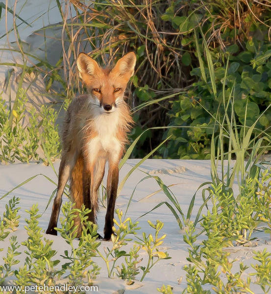Photograph - Beach Fox by Pete Hendley