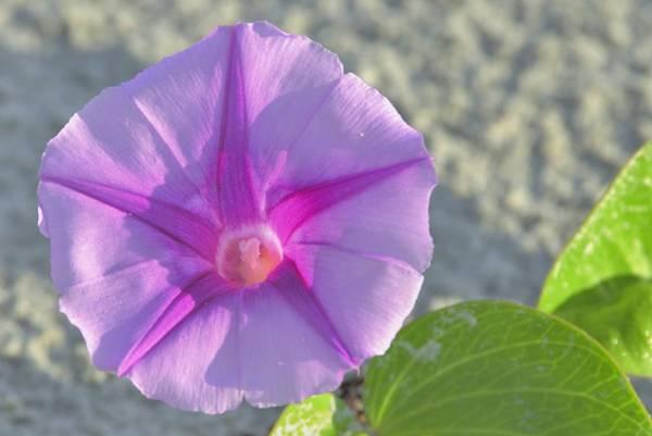 Photograph - Beach Morning Glory Flower by Bradford Martin