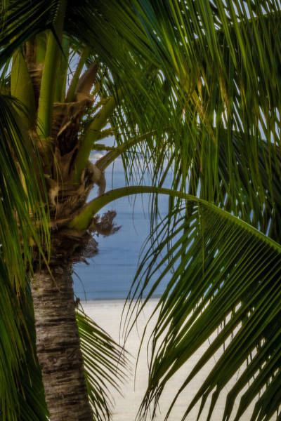 Photograph - Beach Palm by Ron Pate