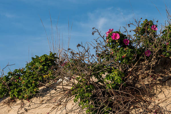 Photograph - Beach Roses On Dune Jersey Shore by Terry DeLuco