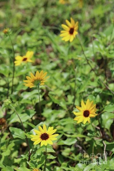 Photograph - Beach Sunflower by Carol Groenen