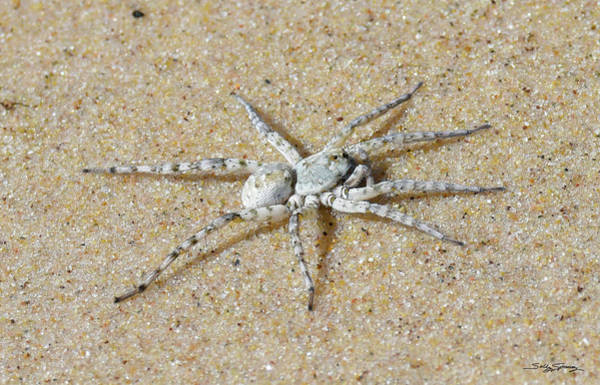 Photograph - Beach Wolf Spider by Sally Sperry