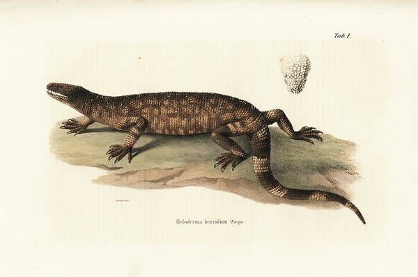 Drawing -  Beaded Lizard, Heloderma Horridum by Friedrich August Schmidt