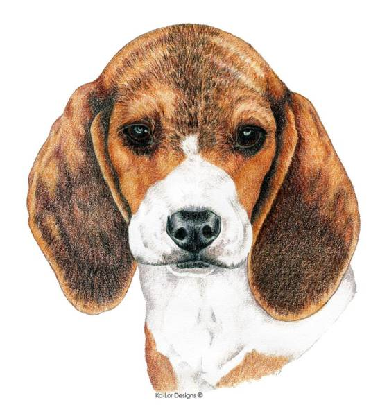 Sight Hound Drawing - Beagle, Puppy by Kathleen Sepulveda