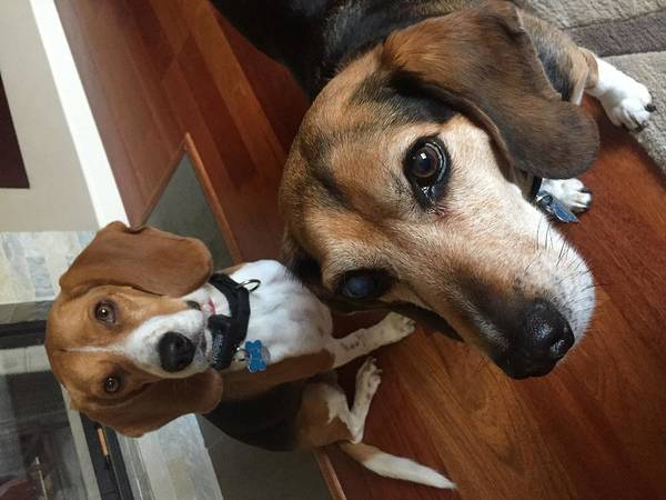 Photograph - Beagles Brothers by ItzKirb Photography