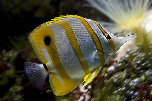 Snout Butterfly Photograph - Beak Coral Fish  by Ronald Jansen