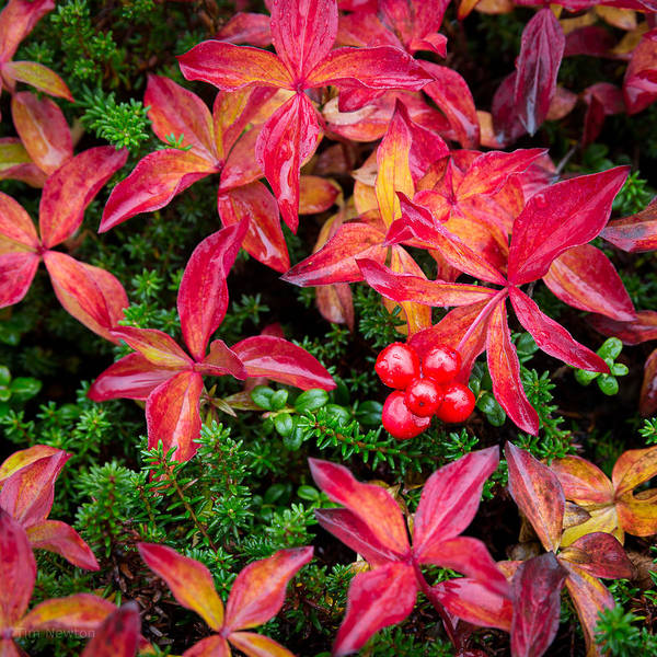 Photograph - Bearberry by Tim Newton