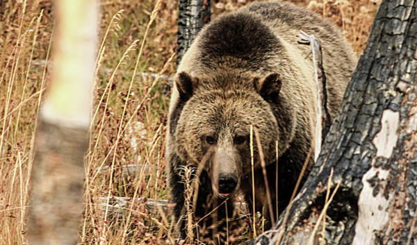 Photograph - Bear Country by Frank Vargo