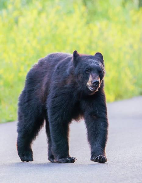 Photograph - Bear Crossing by Loree Johnson