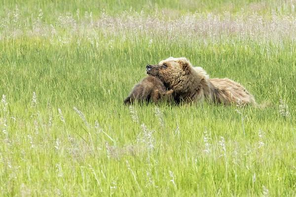 Photograph - Bear Cub As Head Rest by Belinda Greb