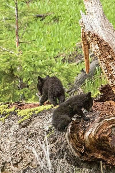 Wall Art - Photograph - Bear Cub Fun by Bruce J Barker
