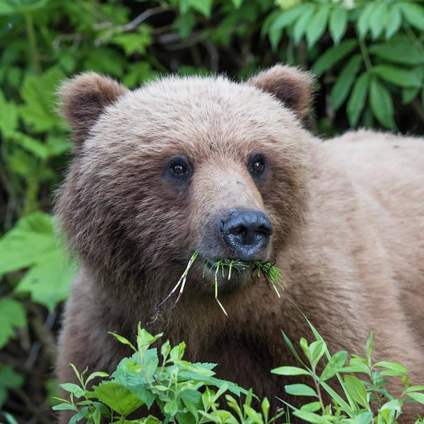 Photograph - Bear Face by Ian Johnson