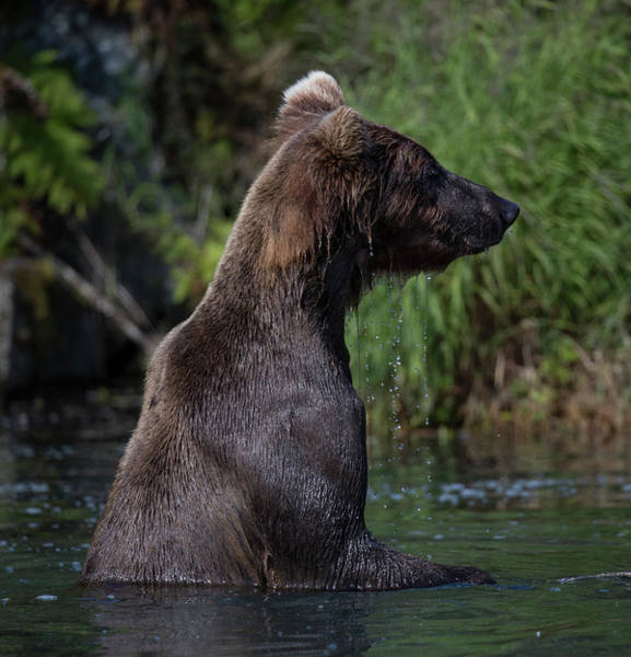 Photograph - Bear In The Water by Gloria Anderson