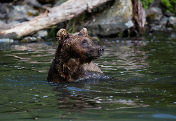 Photograph - Bear In The Water In Alaska by Gloria Anderson