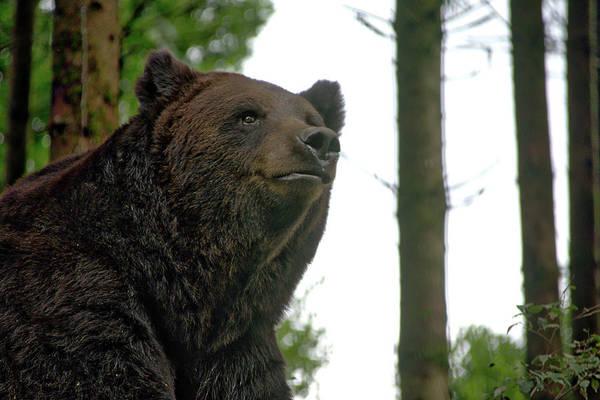 Photograph - Bear by Ingrid Dendievel