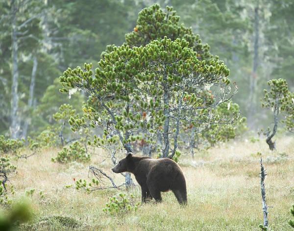 Photograph - Bear 'keg by Ian Johnson